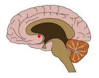 Nucleus accumbens (NAc or NAcc), also known as the accumbens nucleus, or formerly as the nucleus accumbens septi (Latin for nucleus adjacent to the septum)